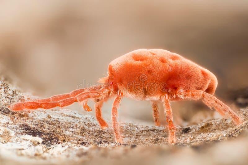 Red Velvet Mites, Rain Bugs, Trombidiidae stock photography