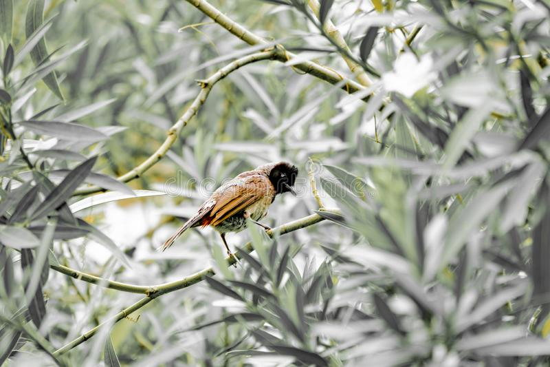 Red vented bird a common city bird in india also known as bulbul. Red vented bird a common city bird in india   as bulbul, redventedbird, wildlife, nature, birds stock photos