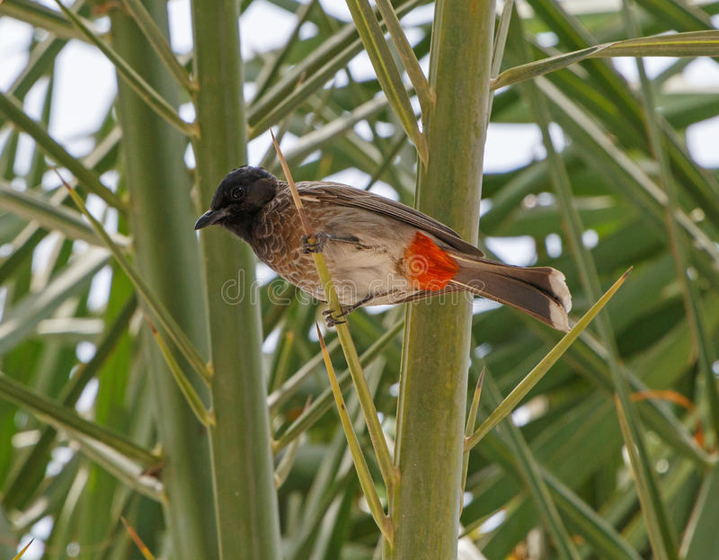 Red-vented bulbul stock photography