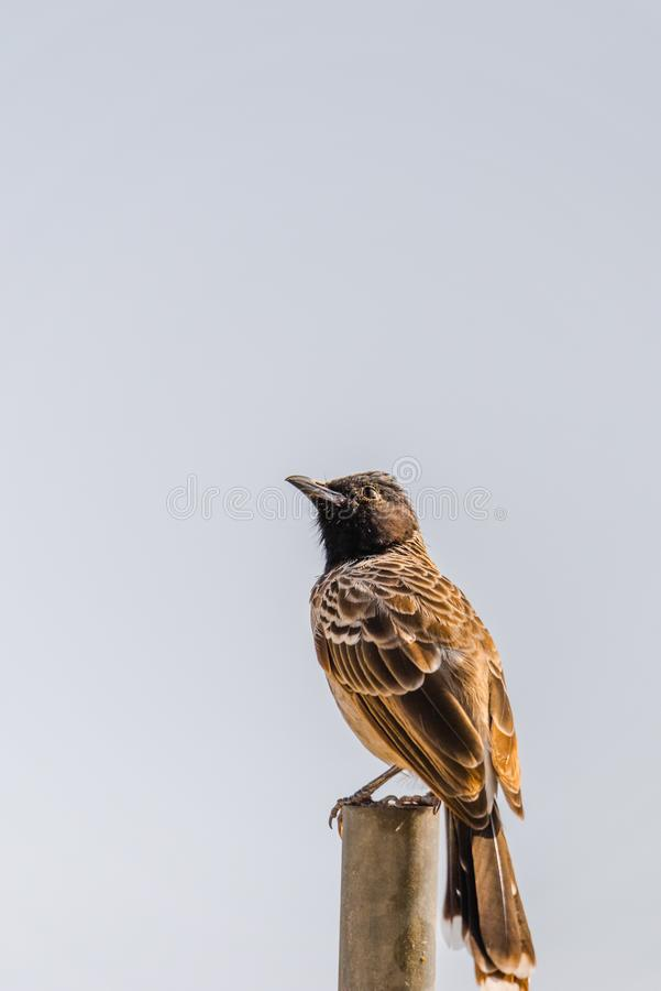 Red Vented Bulbul perched. Red vented bulbull perched and looking upward to find a flies royalty free stock photos