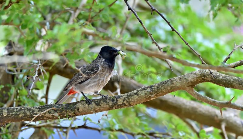 The red-vented bulbul on the branch of tree. royalty free stock image