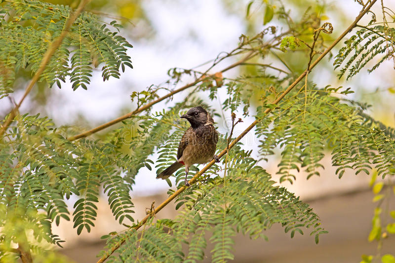 Red-vented Bulbul royalty free stock photography