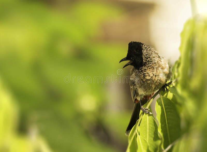 Red Vented Bulbul on tree stock photography