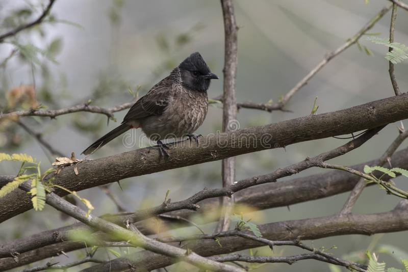 Red-vented bulbul that sits on a dry branch of a tree on a cloud royalty free stock photo