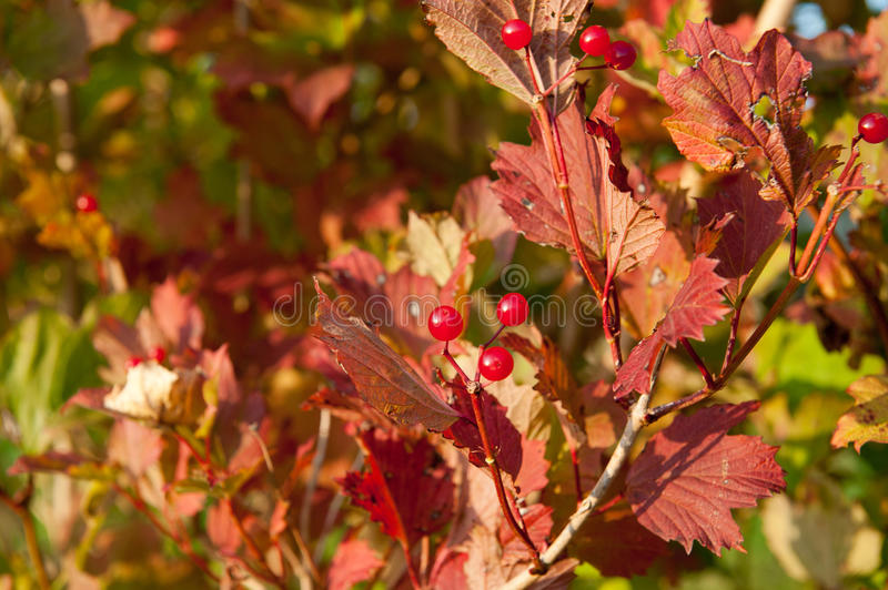 Red Viburnum berries in the tree royalty free stock photography