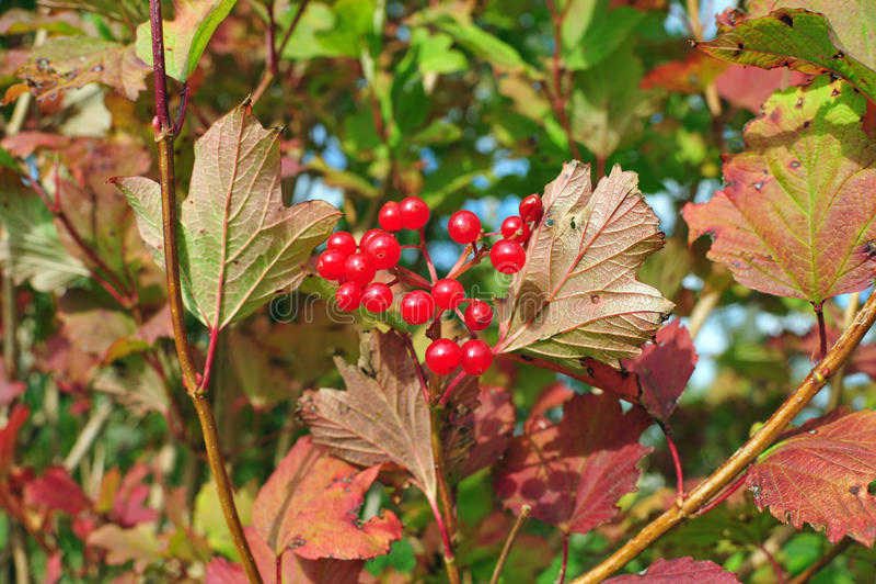 Red Viburnum berries on the tree stock photos