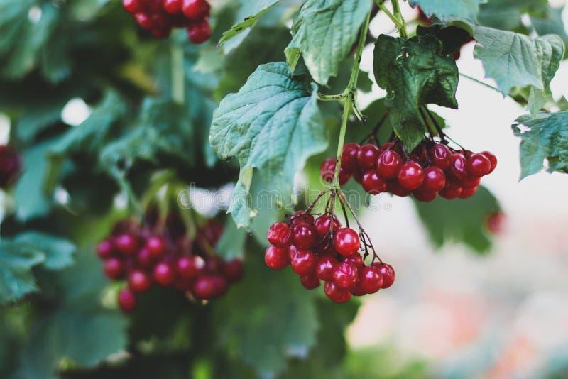 Bush viburnum berries red illuminated by the sun, royalty free stock image