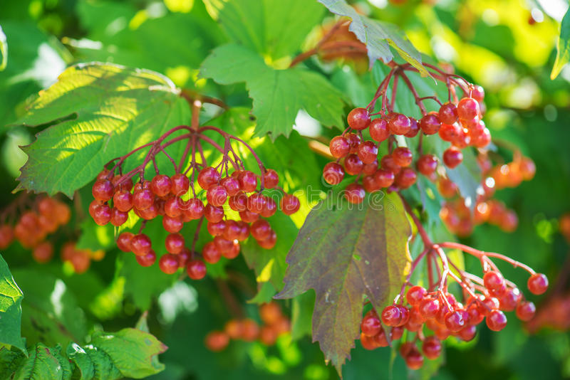 Red viburnum. Growing in spring city park royalty free stock image