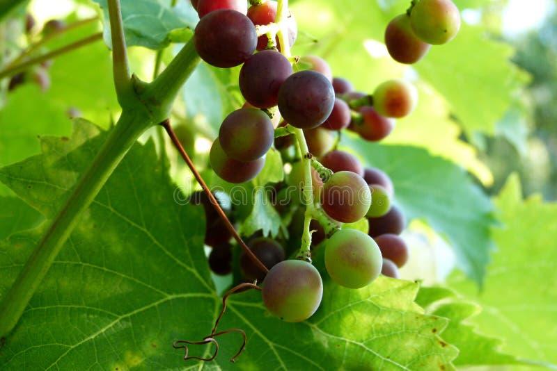 Red vine grape royalty free stock photos