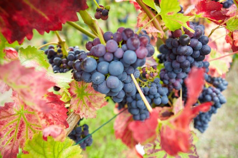 Download Red Vine Grapes In Vineyard Stock Image - Image: 28883531