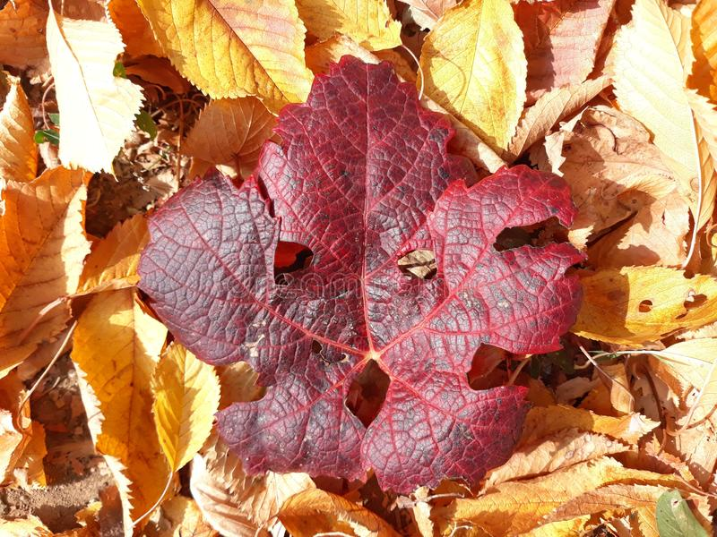 Red vine leaf. The red vine leaf on a carpet of many yellow leaves royalty free stock photos