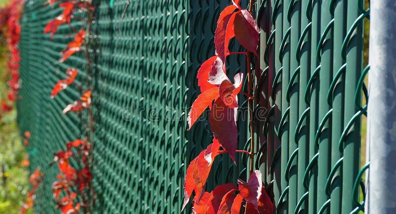 Red vine on metal fence royalty free stock image