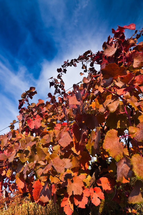 Red Vineyard Royalty Free Stock Images