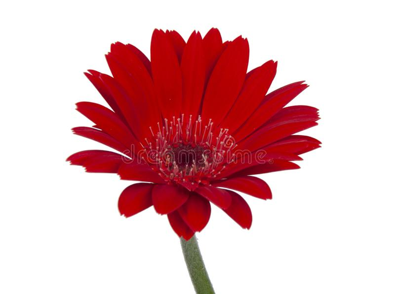 red vintage fresh gerbera flower isolated on  the white background stock photo
