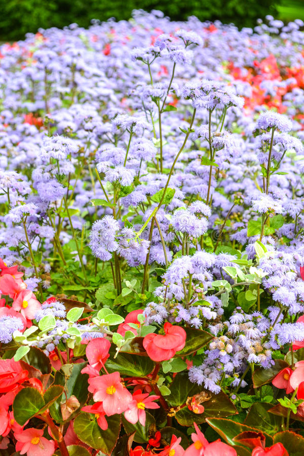 Red and violet flowers stock images
