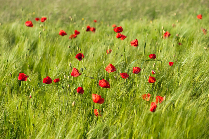 Red vivid poppies