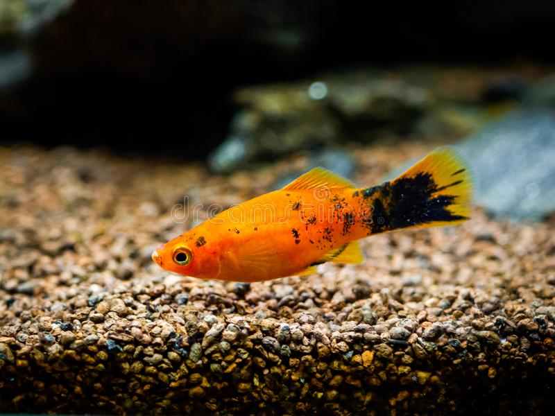 279 Platy Red Photos Free Royalty Free Stock Photos From Dreamstime