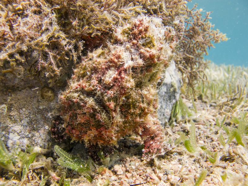 Red Warty Frogfish next to the coral. Frogfish next to the coral - Underwater at dive site Bannerfish Bay in Dahab, Egypt royalty free stock photography