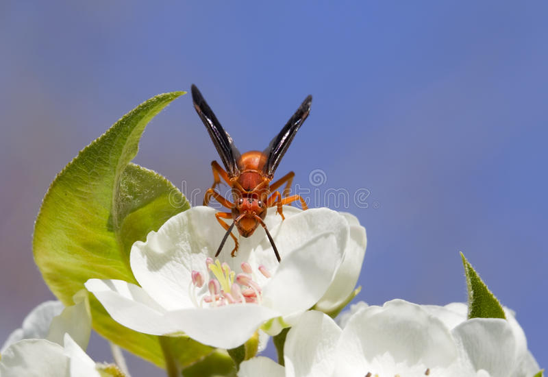 Red wasp royalty free stock images