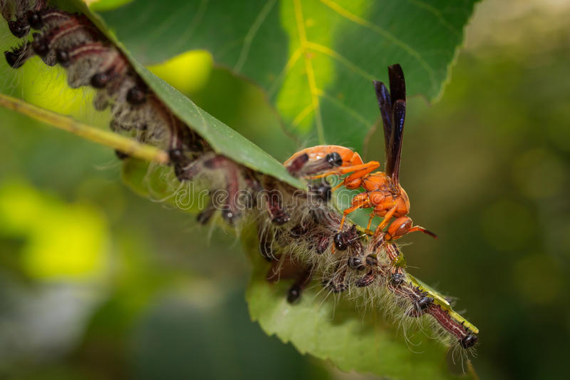 Red Wasp Preys on Hairy Caterpillars stock image