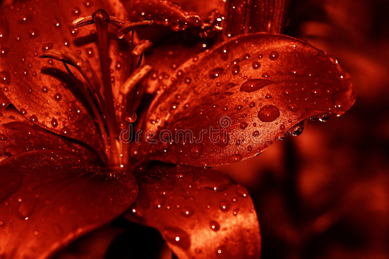 Download Red water drops lilly stock photo. Image of minnesota, nature - 354958