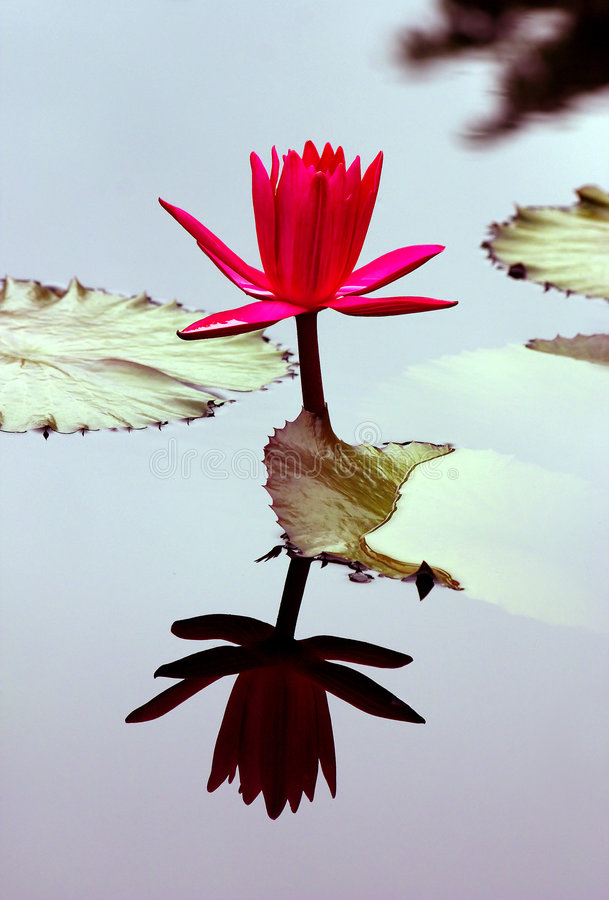 Red water lily stock photo
