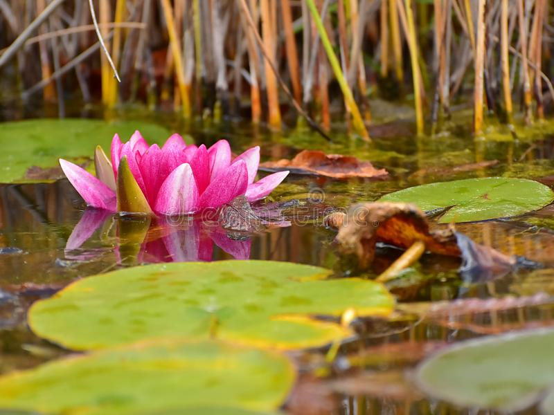 Download Red water lily stock photo. Image of symbol, beautiful - 103089810