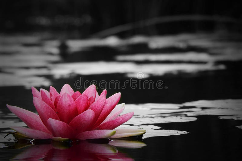 Red water lily royalty free stock photos