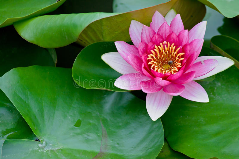 Red water lily and bees stock images