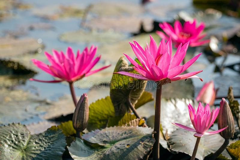 Red water lily in lake royalty free stock images