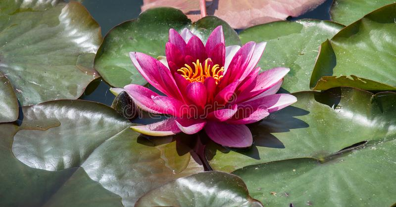 Red water lily on leaf in small pond royalty free stock photography
