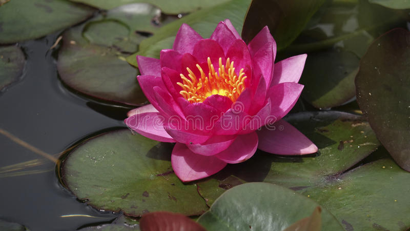 Red water lily and leaves stock photos