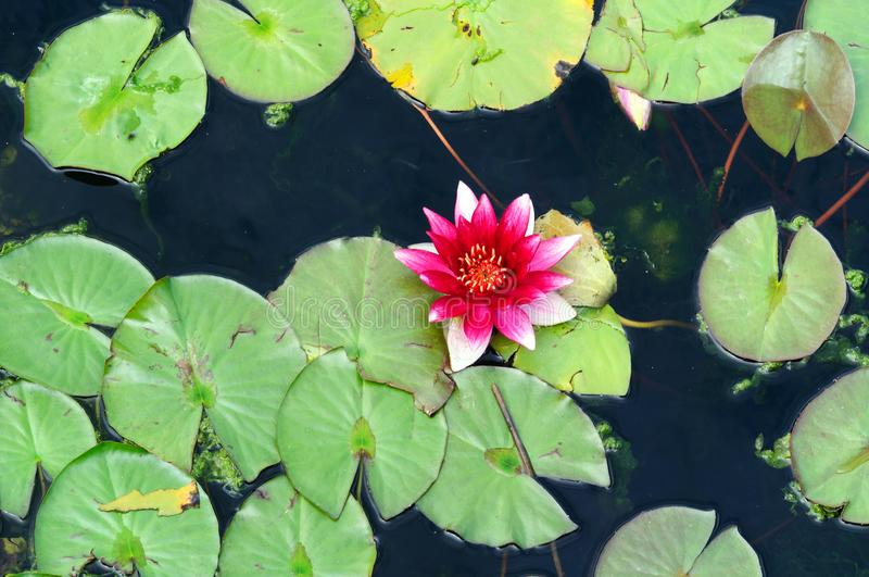 Red water Lily in the pond of the Park. royalty free stock photos