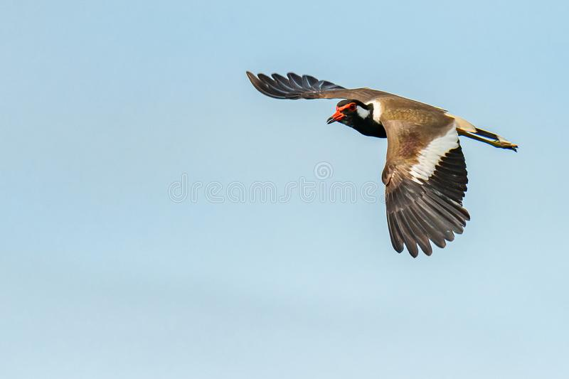 Red-Wattled Lapwing in flight with blue sky  background stock image