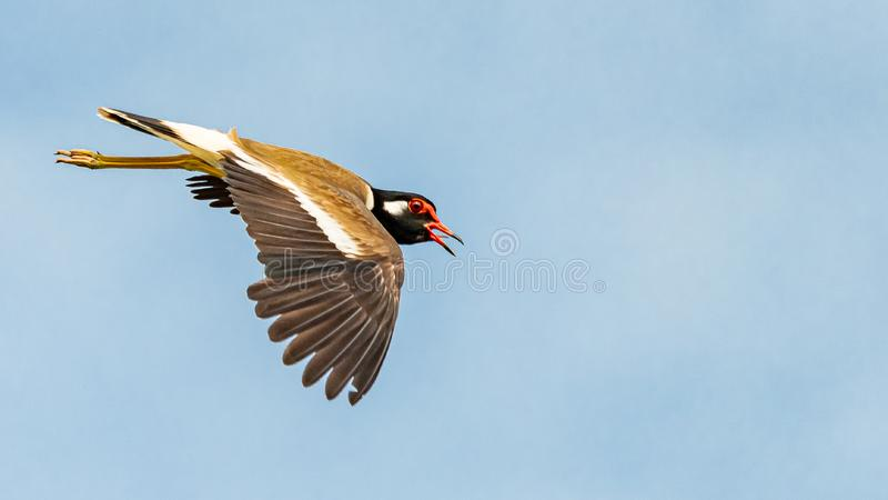 Red-Wattled Lapwing in flight with blue sky  background stock photo