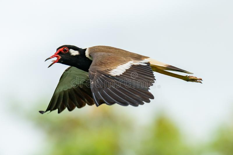 Red-Wattled Lapwing in flight with blur green tree  background stock images