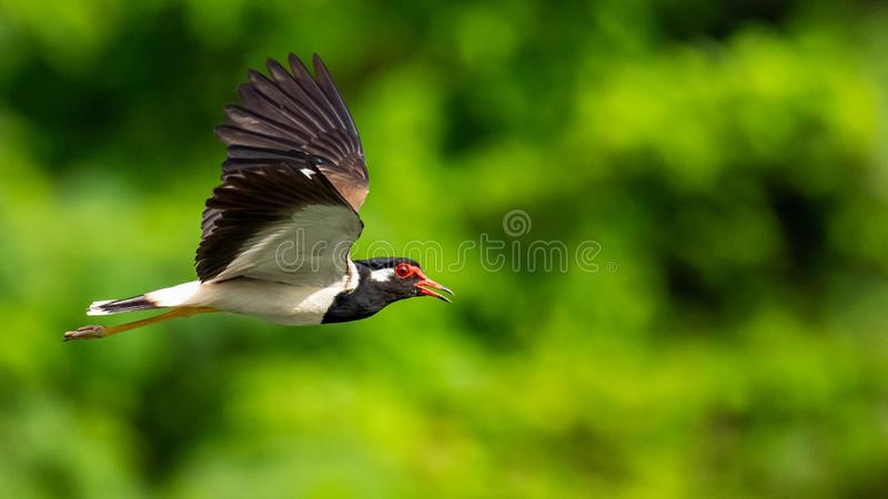 Red-Wattled Lapwing in flight with blur green tree  background stock image