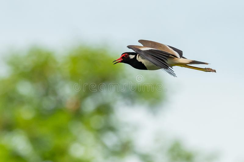 Red-Wattled Lapwing in flight with blur green tree  background stock photos