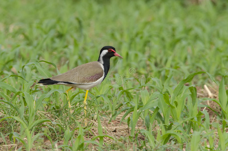Red-wattled lapwing royalty free stock image