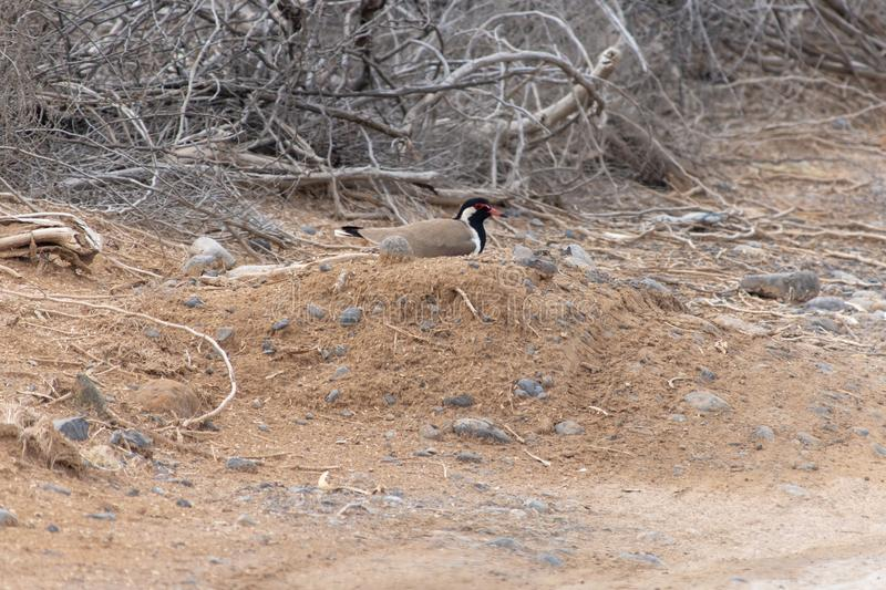 Red Wattled Lapwing Vanellus indicus nest of four eggs in the United Arab Emirates stock images