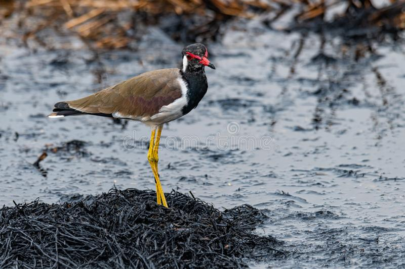 Red-Wattled Lapwing standing on ashy straw of paddy field after harvest finding food to feed on stock photo