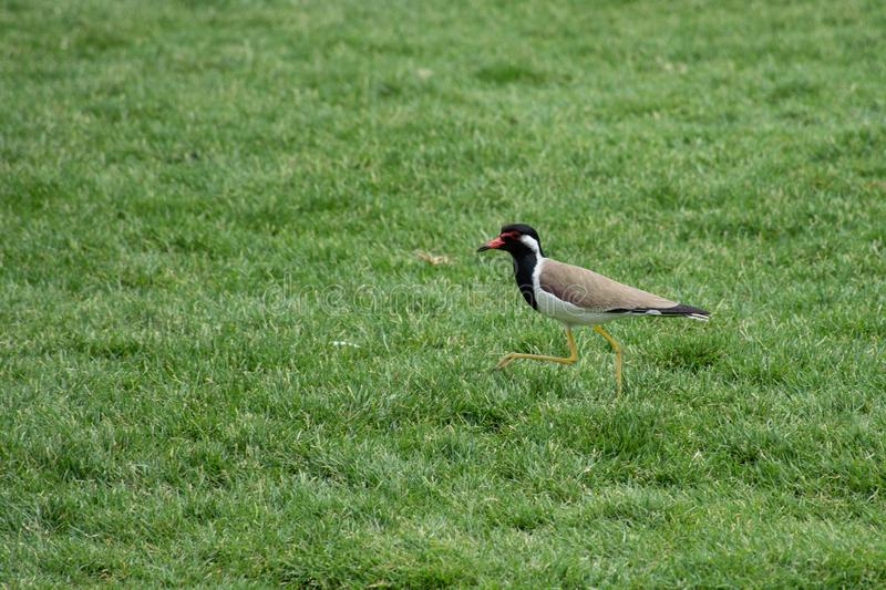 Red-Wattled Lapwing standing with its beak open on the green grass in the United Arab Emirates Vanellus indicus royalty free stock images