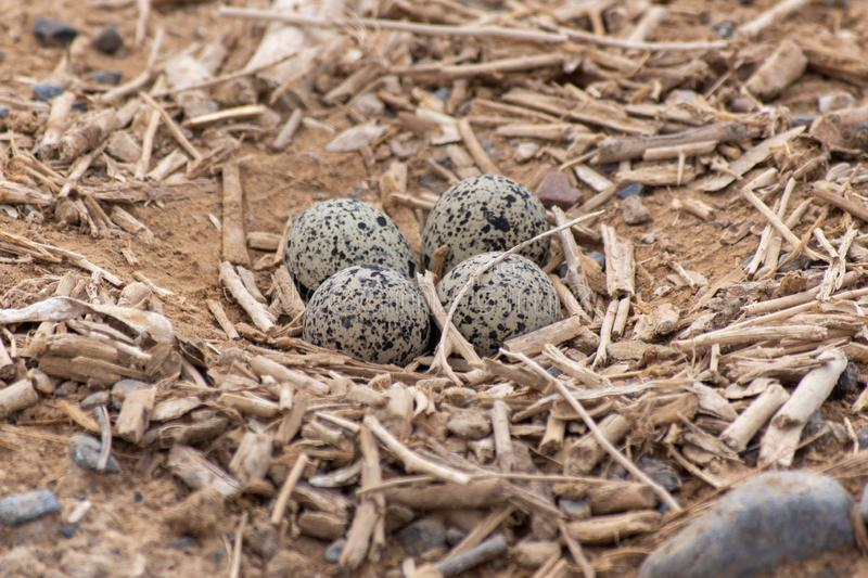 Red Wattled Lapwing Vanellus indicus nest of four eggs in the United Arab Emirates stock photos