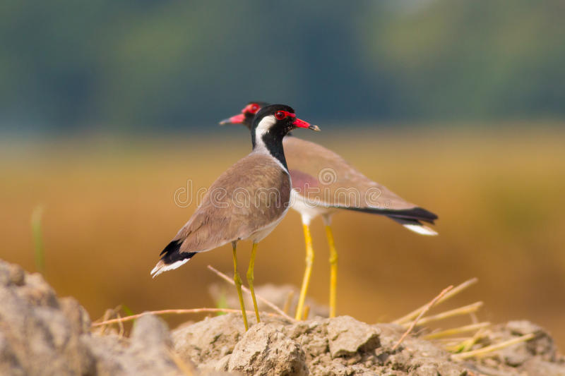 Red wattled lapwings pair staring at the camera stock photo