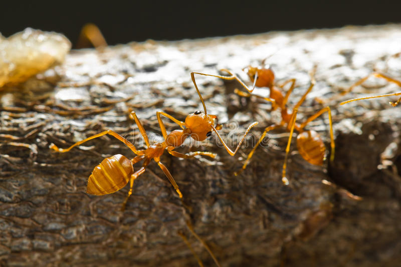 Red weaver ants stock photo