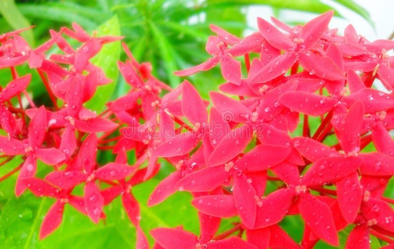 Red West Indian Jasmine Ixora coccinea flowers on tree royalty free stock photos