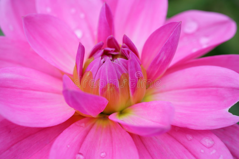 Red wet flower royalty free stock images