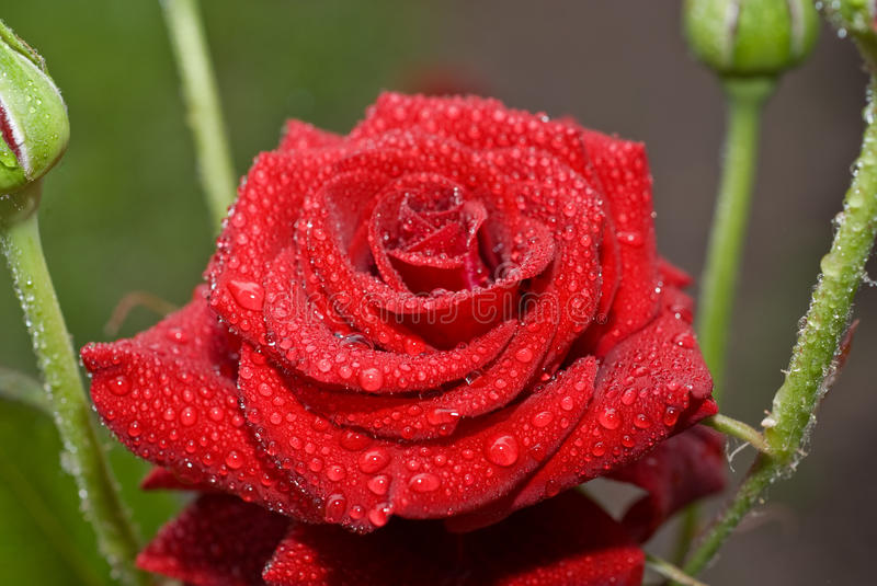 Red wet rose with water droplets