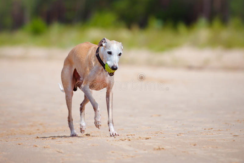 Red whippet playing with a tennis ball. Red whippet dog on the beach royalty free stock photo