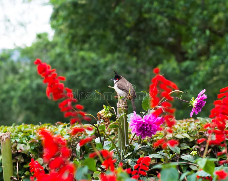 A red whiskered bulbul in Coonoor, Tamil Nadu royalty free stock photo